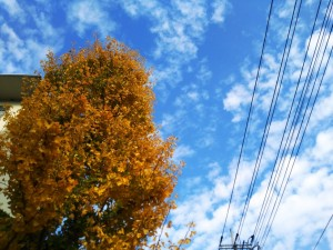田島団地のイチョウの木